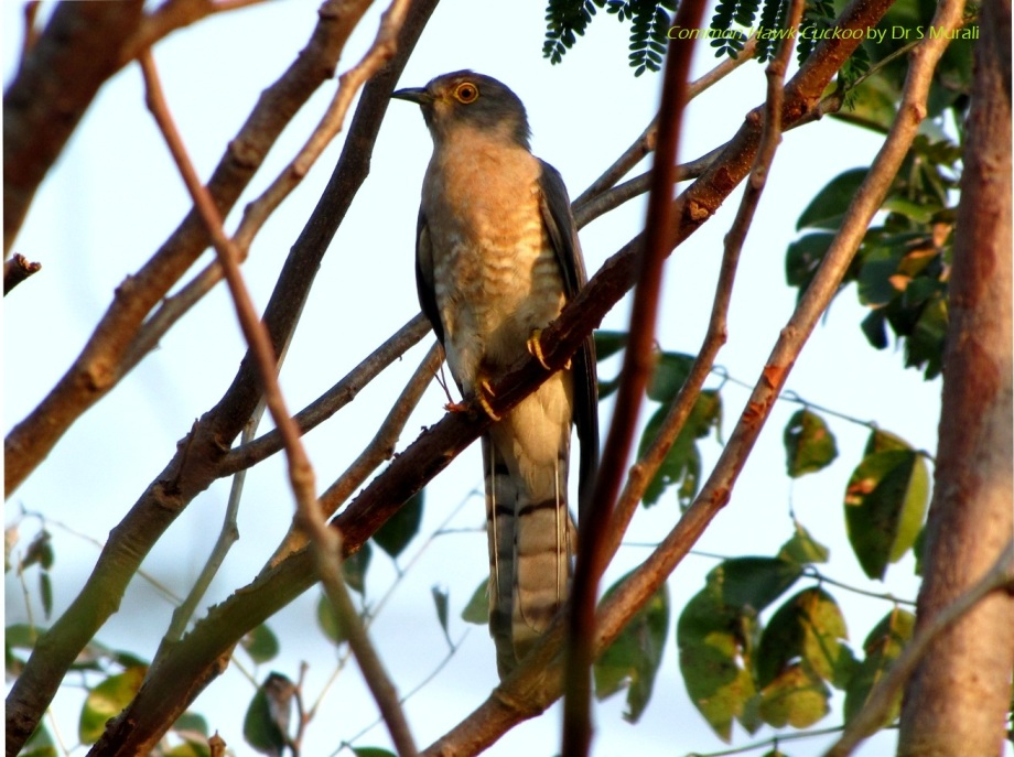 Brainfever or Common Hawk Cuckoo