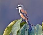 Long Tailed Shrike 3