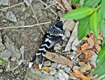 Spotted Forktail 3a