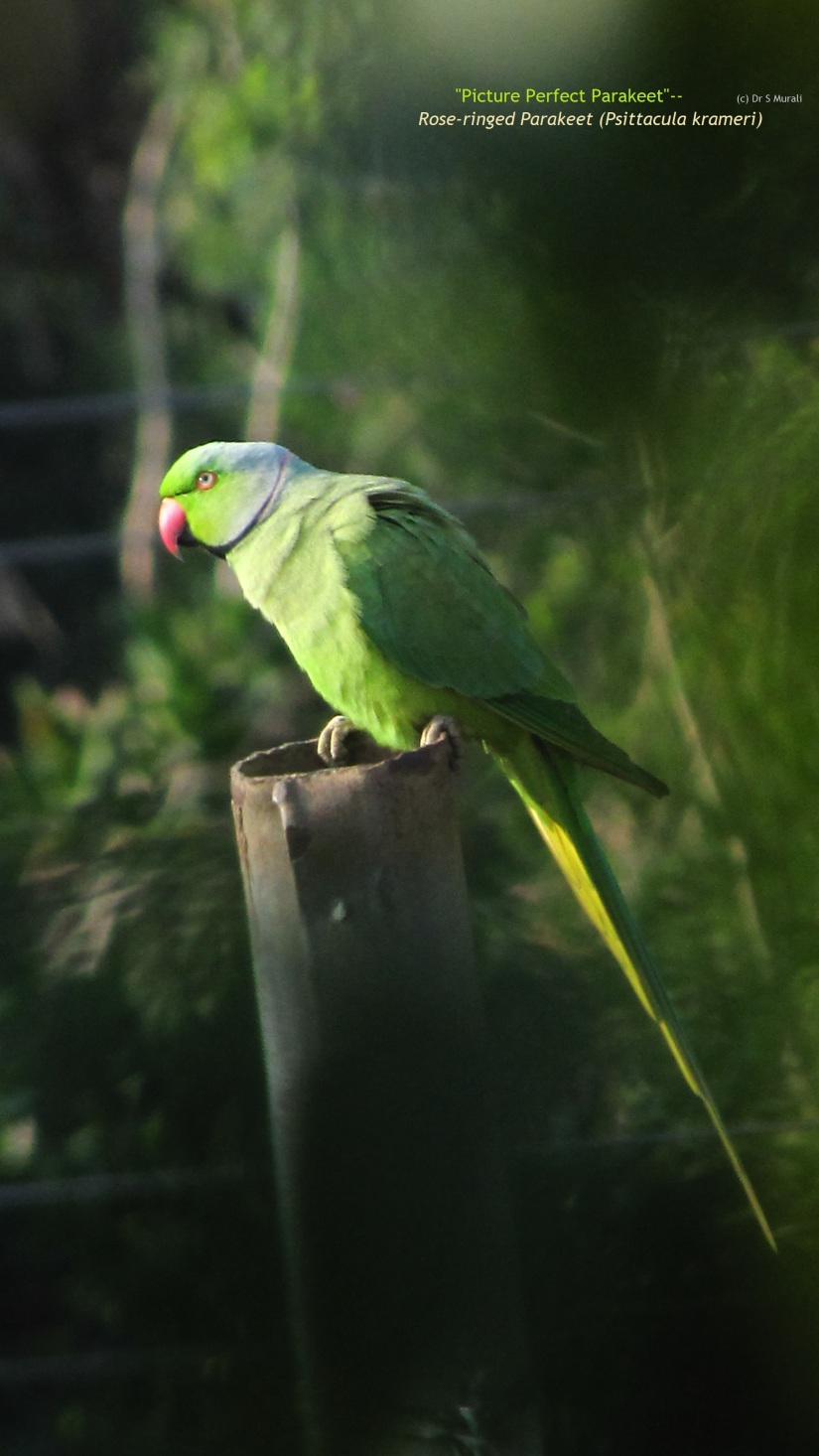 Picture Perfect Parakeet.jpg