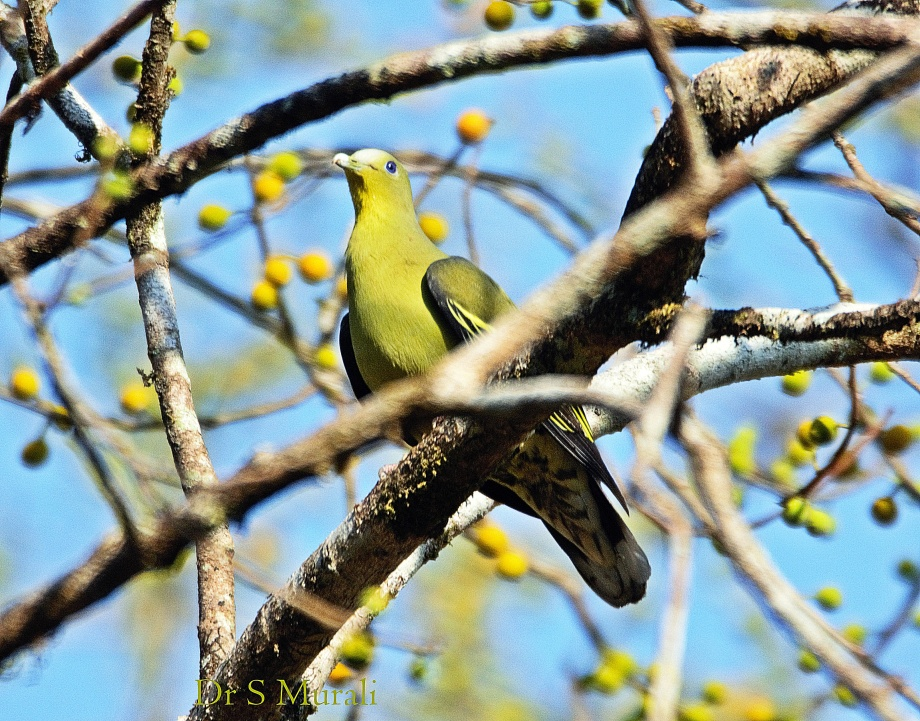 grey-fronted-green-pigeon-female-1