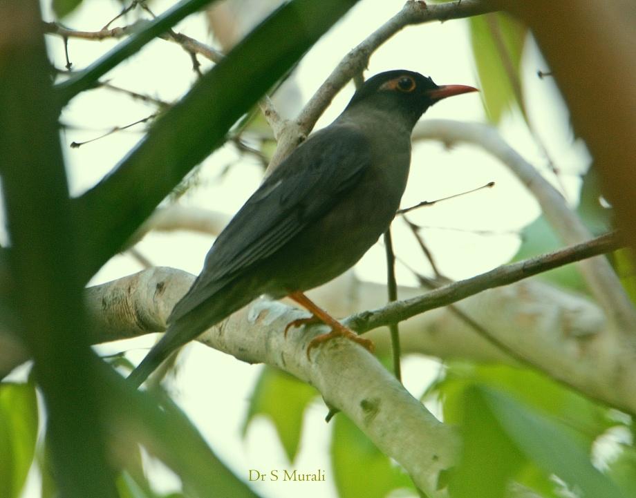 indian-blackbird