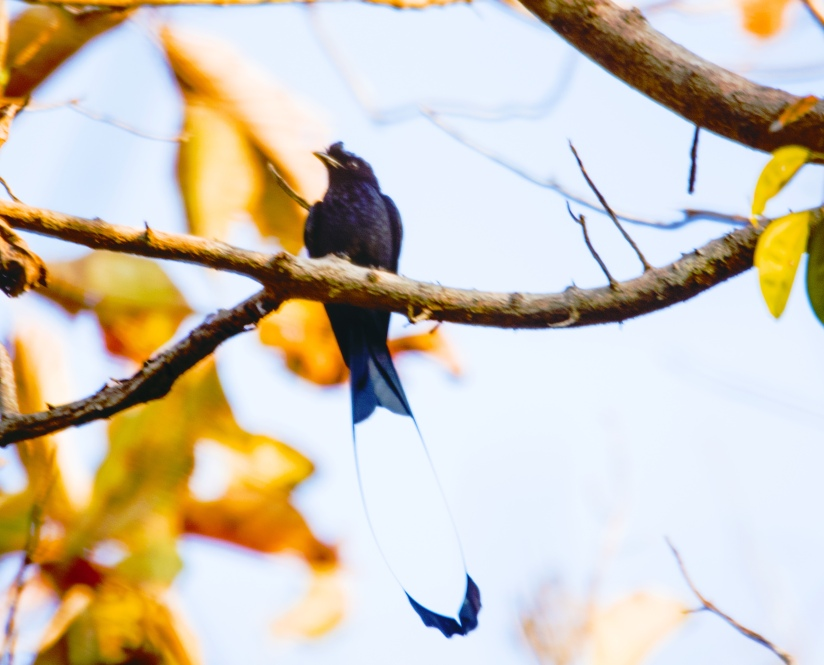 racket-tailed-drongo