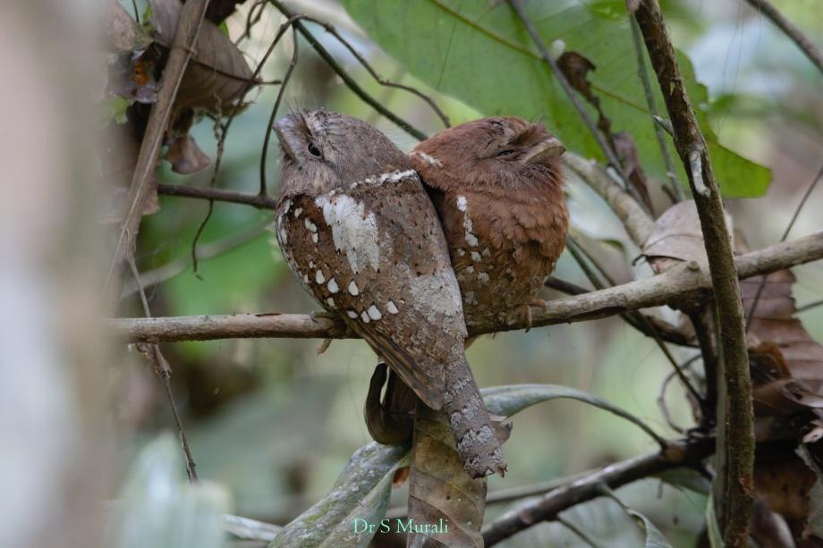 sri-lanka-frogmouth-2