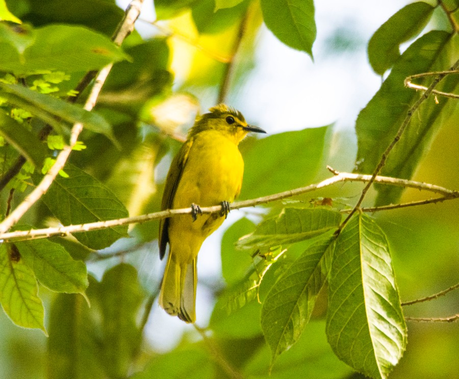yellow-browed-bulbul-in-thattekad